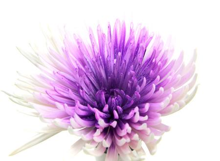 regimen: Purple Gerber flower on white background