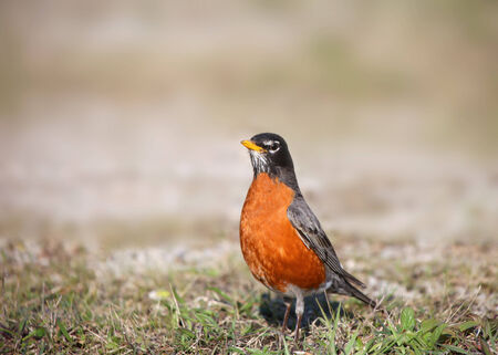songster: Close up shot of Robin bird  Stock Photo