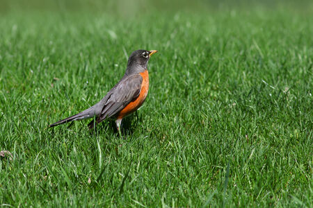 songster: Close up shot of Robin bird in the lawn Stock Photo