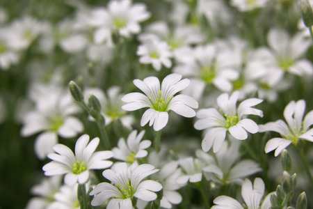 cerastium tomentosum: Snow white flowers Stock Photo