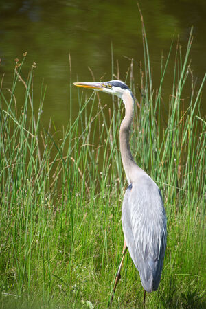 great blue heron: Grey heron by the pond Stock Photo