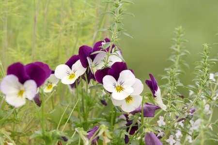 Viola tricolor  Stock Photo