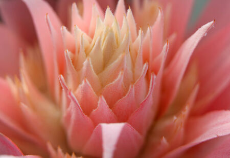 aechmea: Close up shot of Aechmea flower Stock Photo