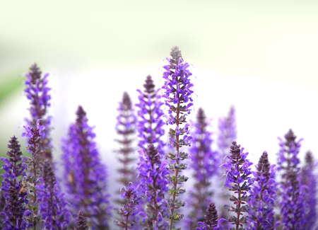 bush to grow up: Close up shot of lavender flowers