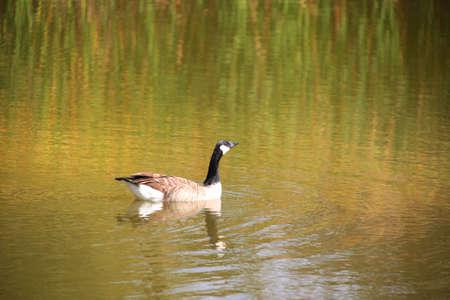 Wild goose photo