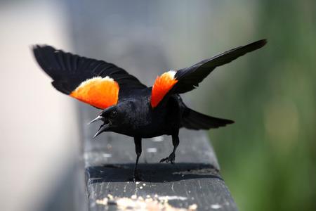 blackbird: Red winged black bird