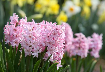 핑크 히아신스 꽃 스톡 콘텐츠