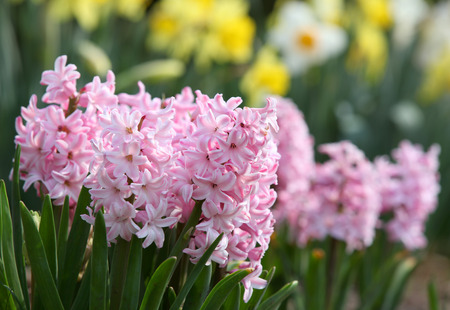 Pink Hyacinth flowers Imagens
