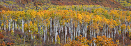 aspen leaf: Panoramic view of colorful Aspen trees at Kebler pass in Colorado Stock Photo
