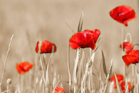 gray: Poppy flowers with sepia background Stock Photo