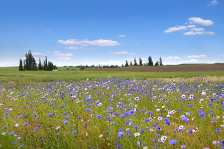 Wild flowers in Wheat fields Stock Photo