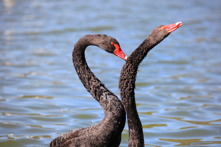 Two black swans in the lake photo