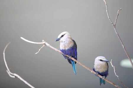 Two little Blue Jay birds photo