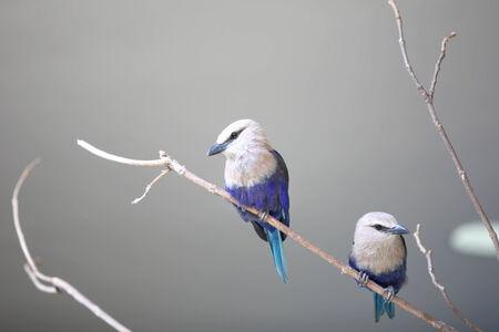 bluejay: Two little Blue Jay birds