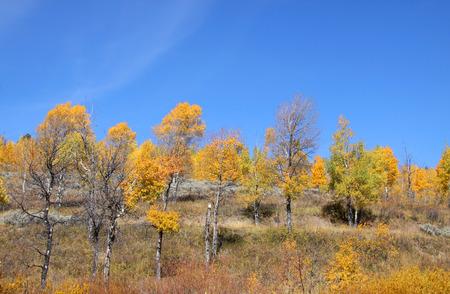 Bright Autumn trees  in Grand Tetons photo