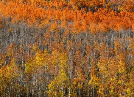 Carpet of Aspen trees photo