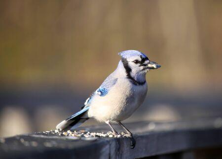blue jay bird: Close up shot of Blue Jay bird