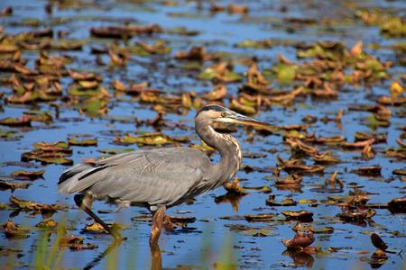 Tall blue heron bird hunting in the lake photo