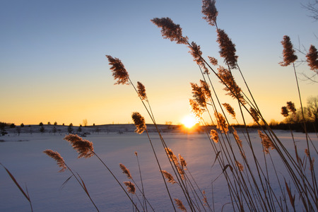 Tall grass with sun set in the background Imagens