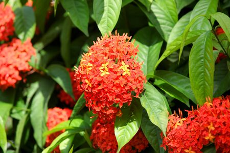 ashoka: Ashoka flowers Stock Photo