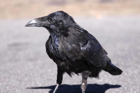 corvus: Close up shot of Raven on the street