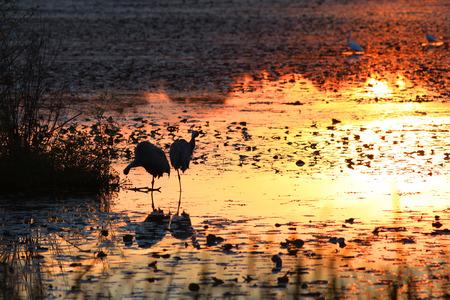 herons: Two herons in the lake