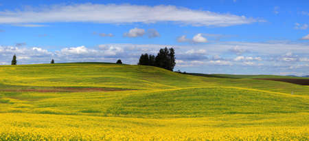 washington landscape: Beautiful landscape of Canola fields in Washington state Stock Photo