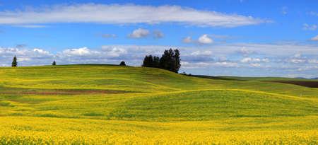 renewable resources: Beautiful landscape of Canola fields in Washington state Stock Photo