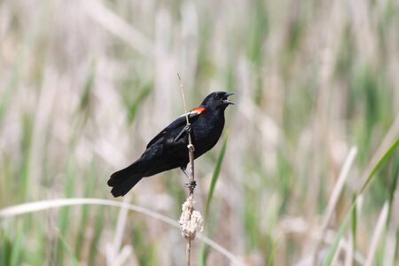 red winged: Red winged black bird