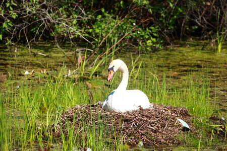 feathering: White swan hatching its eggs in the nest
