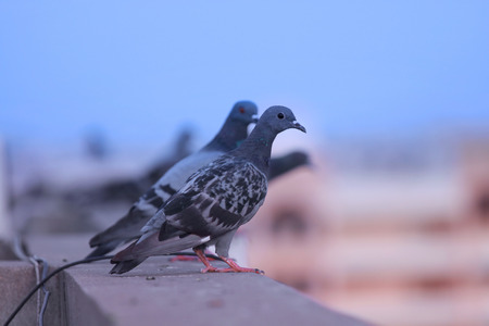 photomanipulation: Close up shot of Pigeons on the wall