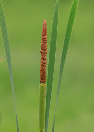 bullrush: Cattail stack with cob