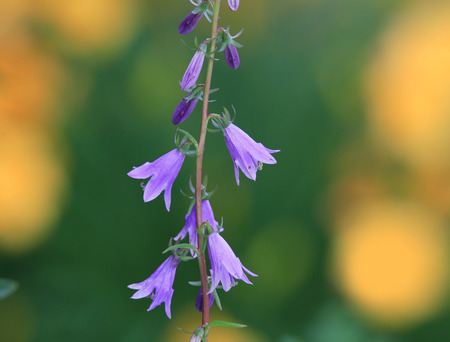 bluebell woods: Close up shot of Blue bell flowers Stock Photo