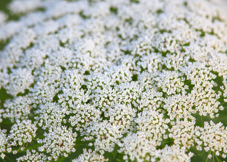 flower close up: Daucus carota flower close up shot