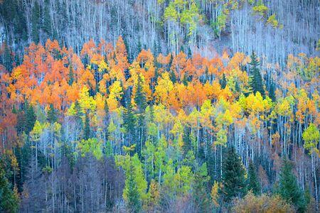 autumn color: Colorful Aspen trees in autumn time Stock Photo