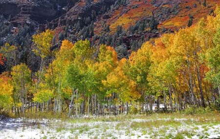 gold capped: Aspen trees in autumn time