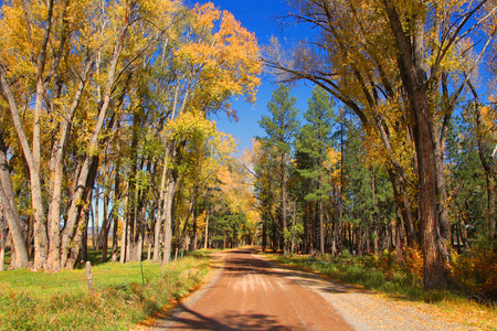 cottonwood  tree: Cotton wood trees by the rural road in autumn