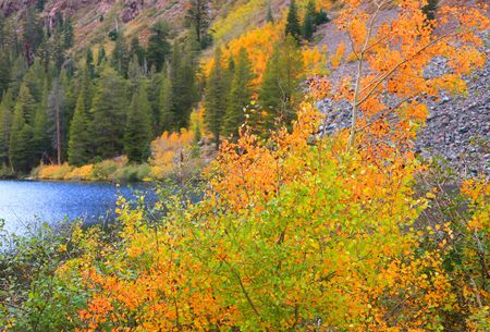 mammoth lakes: Bright Aspen tree foliage in California