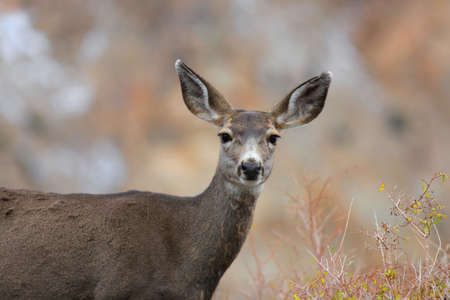 tailed: Close up shot of white tailed deer Stock Photo