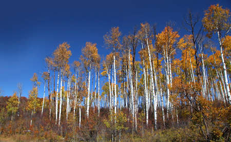 u s: Tall colorful Aspen trees against blue sky