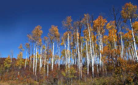 u s a: Tall colorful Aspen trees against blue sky