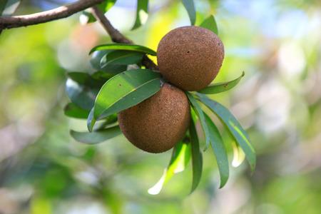 인도에서 나무에 Chikoo 과일 스톡 콘텐츠