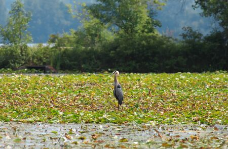 bluegill: Large blue heron in a lake