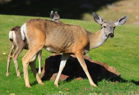 white tailed deer: White tailed deer and its baby deer