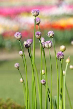jardines con flores: capullos de flores de Allium en jardines de tulipanes