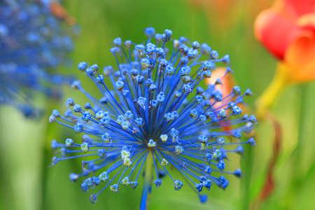 allium flower: Close up shot of Allium flower