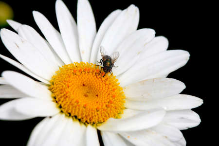 white fly: Close up shot of white Daisy flower and fly