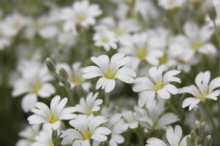 cerastium tomentosum: snow white flower