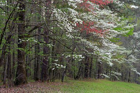 fleur de cerisier: De nombreux arbres à floraison printanière