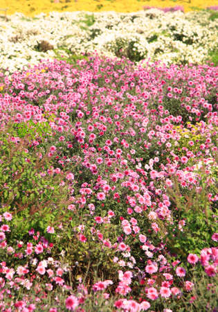 andhra: Colorful flower field in Andhra pradesh state in India